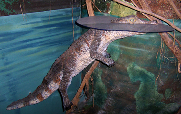 Life-size and displayed to appear with head above 'water' surface (London Wetland Centre) Science Projects.