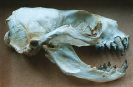 Seal skull home page image