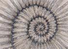 Pakefield ammonite thumbnail