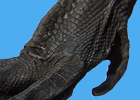 Swan foot thumbnail