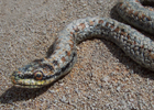 smooth snake thumbnail